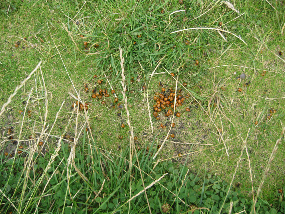 ladybirds so thick underfoot on the marsh Aug 6th