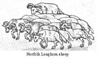 Norfolk Longhorn sheep may very well have been the breed